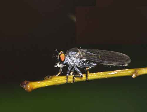 Asilidae Ommatius f-undescribed species
