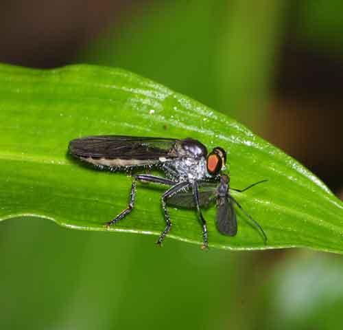 Asilidae Ommatius f -undescribed species1