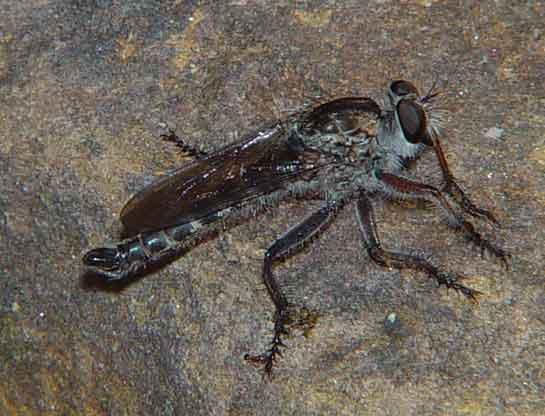 Asilidae genus Asilus