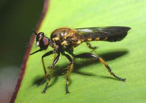 Asilidae genus Laphria , in the tribe Laphriini