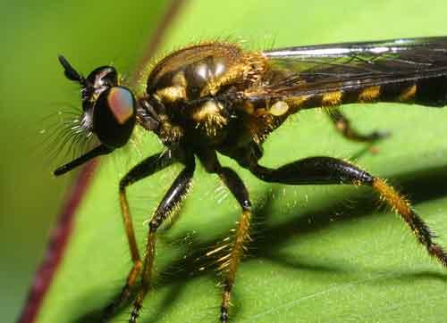 Asilidae genus Laphria , in the tribe Laphriini1