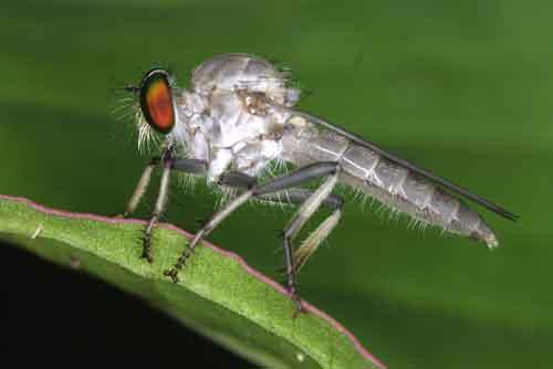Asilidae genus Ommatius, undescribed species