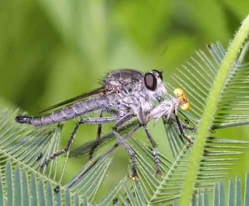 unidentified Asilidae with damselfly prey- robbery? I call that 1st degree murder