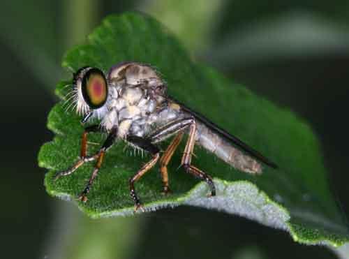 unidentified Asilidae 4