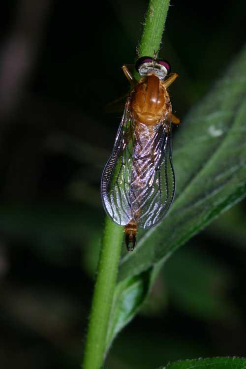 unidentified Asilidae 5