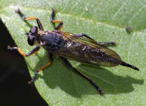 unidentified Asilidae 2a