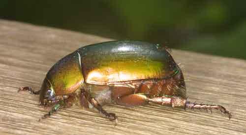 Anomalocera subopaca- these