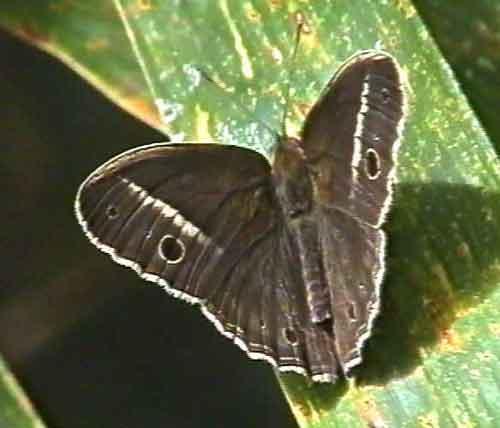 Mycalesis malsara