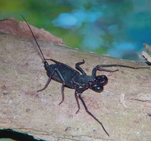 Thelyphonidae telyphonus sp Uropyge family-whip-scorpion