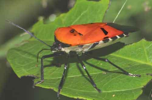 Pentatomidae Catacanthus incarnatus