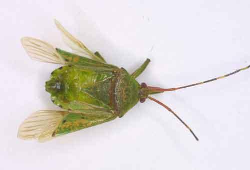 Pentatomidae or Urostylidae (Urostylis?) 1