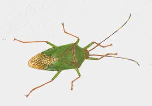 Pentatomidae or Urostylidae (Urostylis?)