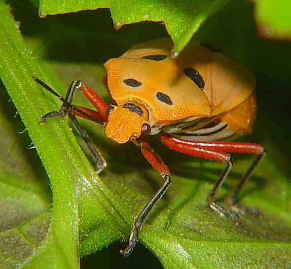 Pentatomidae 1