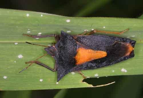 Pentatomidae 2