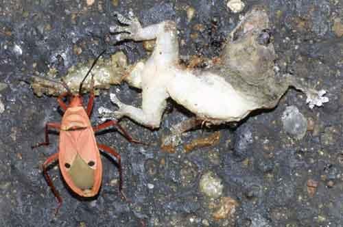 Pentatomidae 4