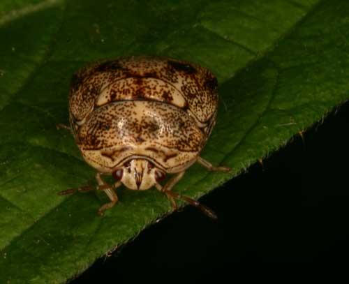 Plataspidae 1