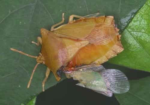 Pygoplatys auropunctatus (Tessaratomidae)