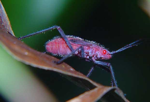 Pyrrhocoridae nymph
