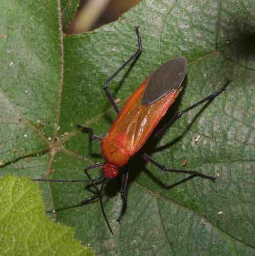 Pyrrhocoridae species 2