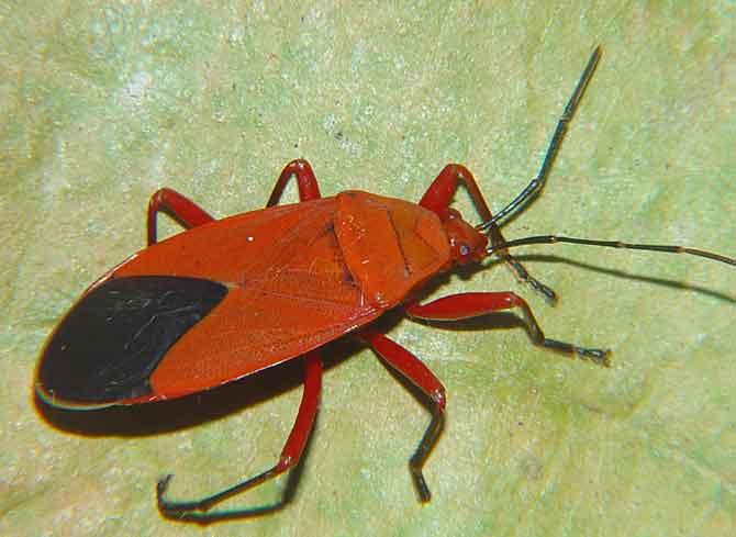 Pyrrhocoridae species