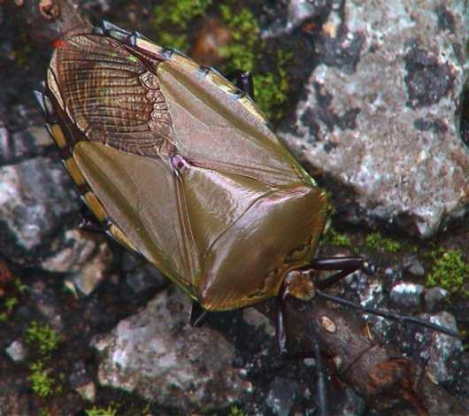 Tessaratomidae Eusthenes Laporte