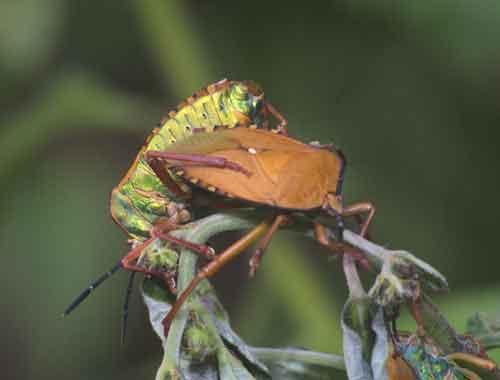 Tessaratomidae 10