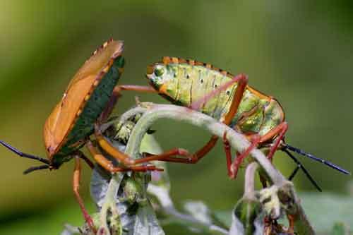 Tessaratomidae 11
