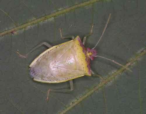 Tessaratomidae 12