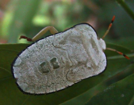 Tessaratomidae 2