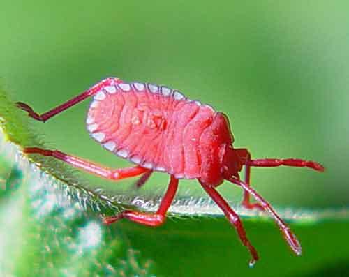 Tessaratomidae 5