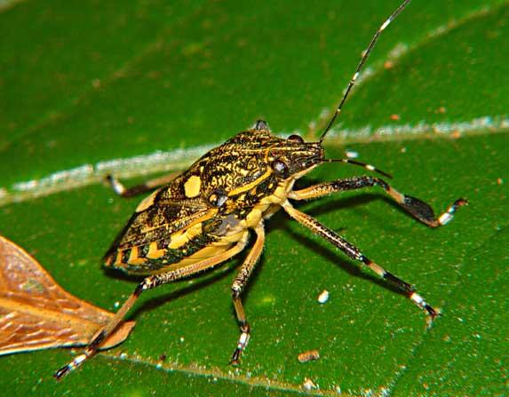 Tessaratomidae 7