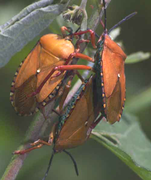 Tessaratomidae9