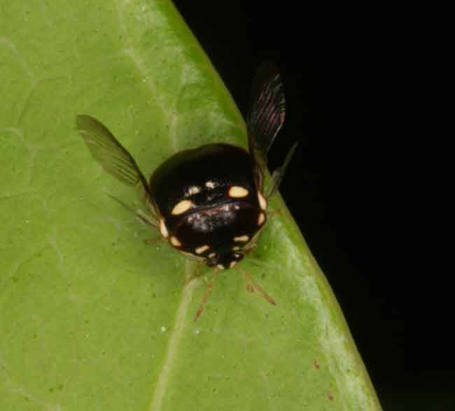 Black shield bug, Brachyplatys sp.