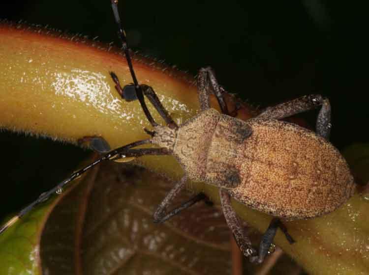Tessarotomidae