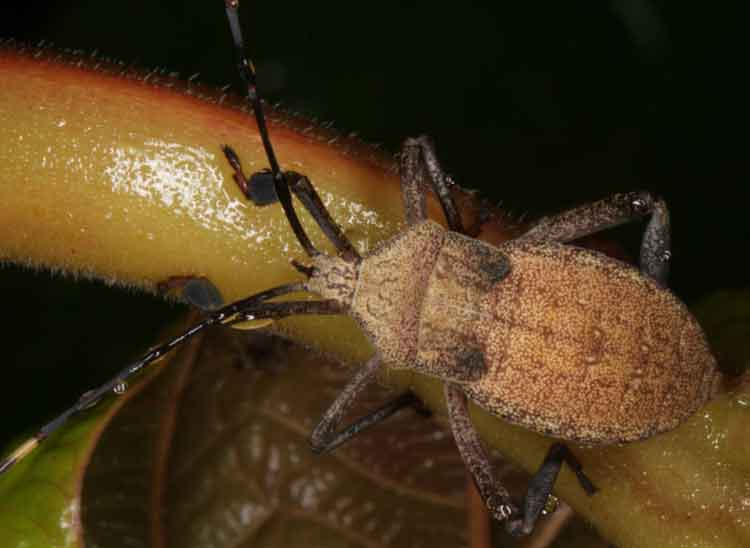 tessarotomidae1