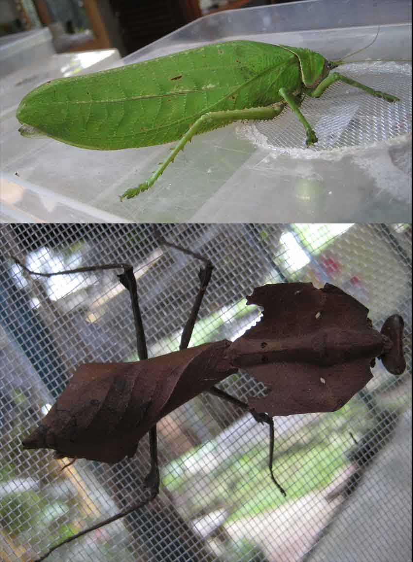 two of the inhabitants- the first time I\'ve seen the dired leaf insect