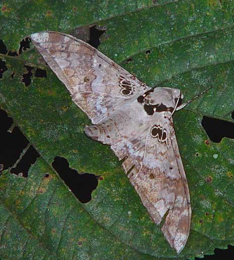 Ambulyx canescens