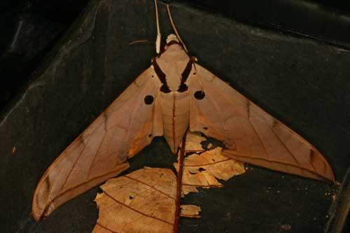 Ambulyx clavata