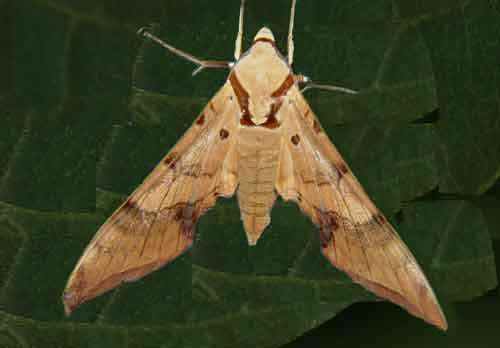 Ambulyx cyclasticta