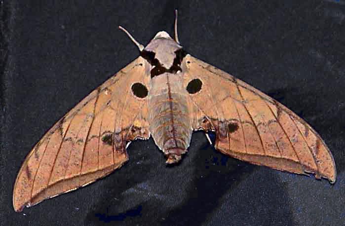 Ambulyx liturata f