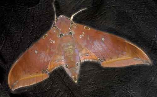 Ambulyx moorei