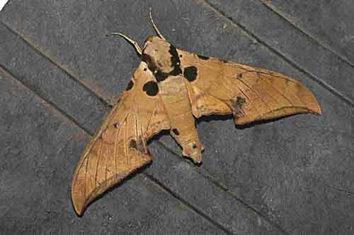 Ambulyx ochracea