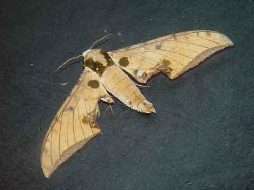Ambulyx ochracea 1
