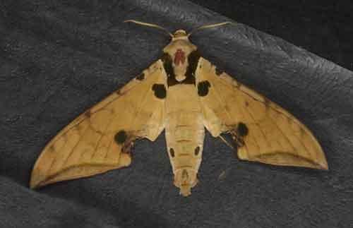 Sưu tập Bộ cánh vẩy 2 - Page 3 Ambulyx%20ochracea2