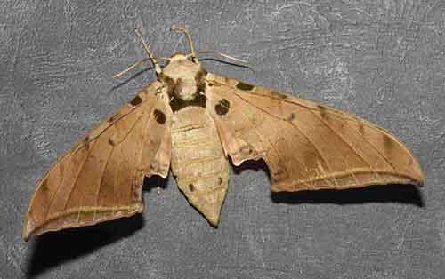 Ambulyx pseudoclavata