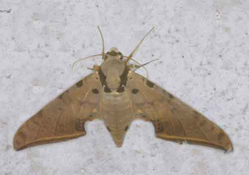 Ambulyx sericeipennis
