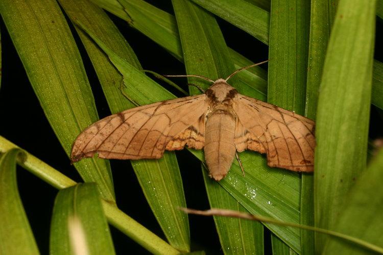 Ambulyx sp 10