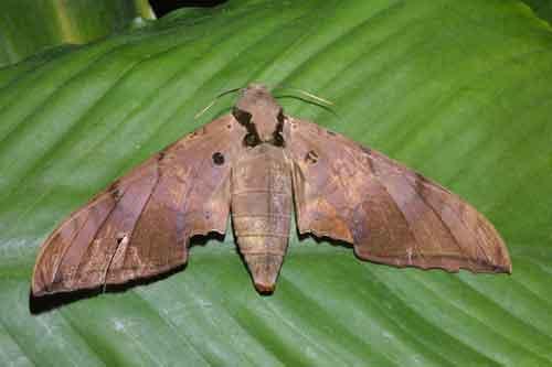 Ambulyx sp. probably liturata f