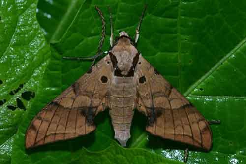 Ambulyx substrigilis cycastica