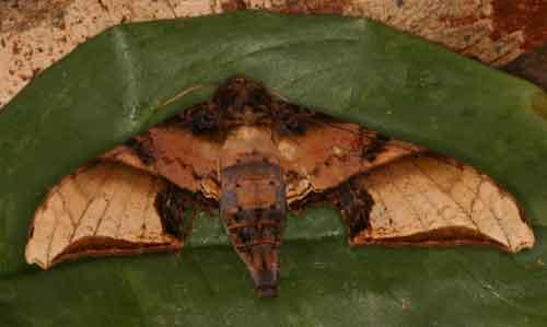 Amplypterus mansoni